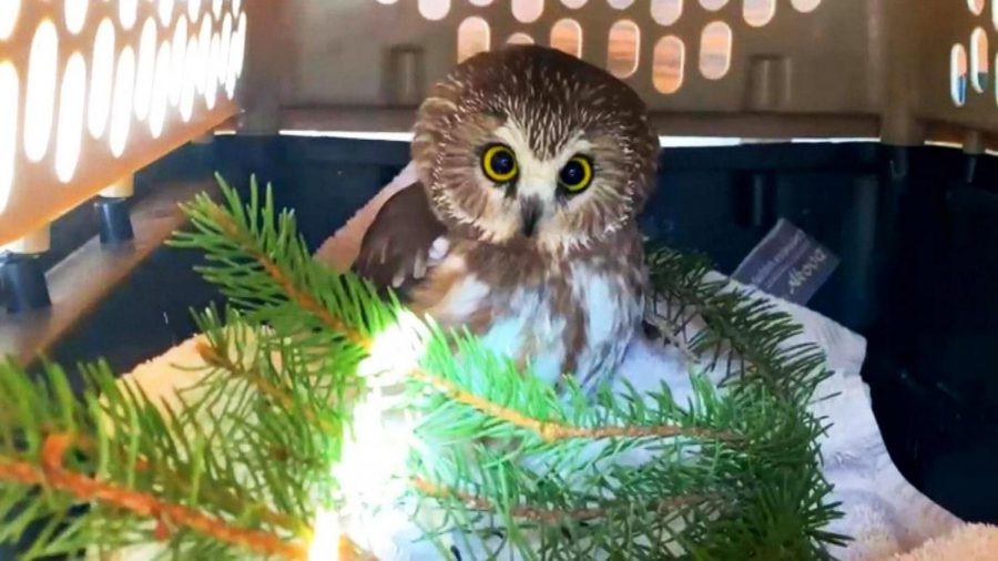 Tiny Owl Takes Free Trip to NYC on the Rockefeller Christmas Tree